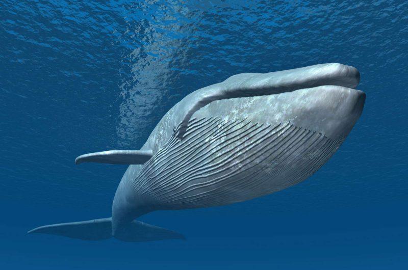 edu responsible travel humpback whale breaching