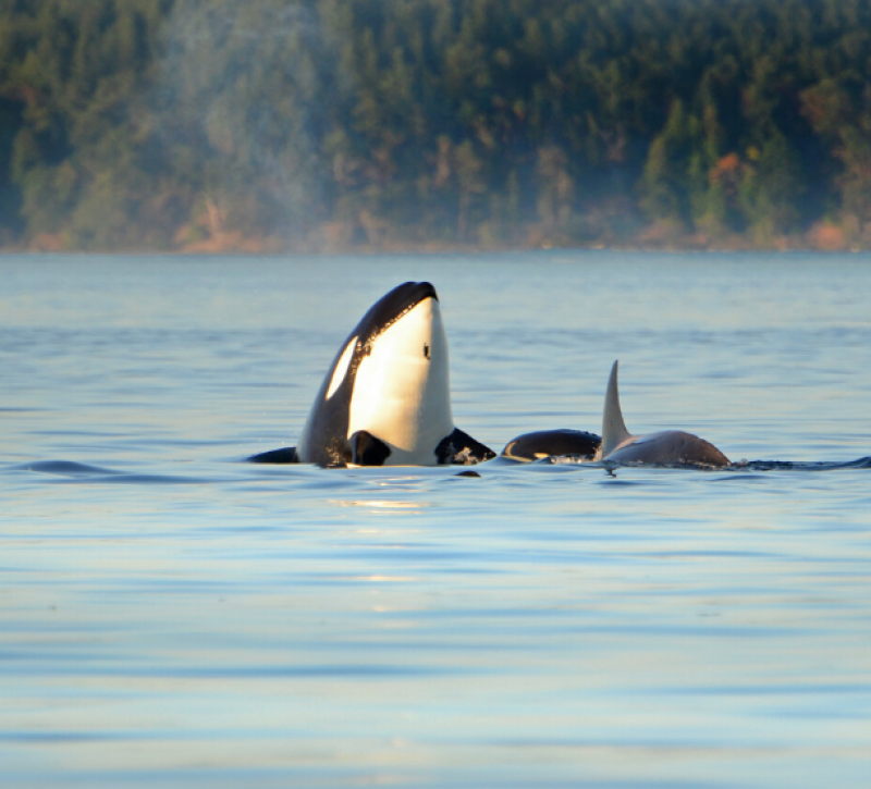 Orca whale above water