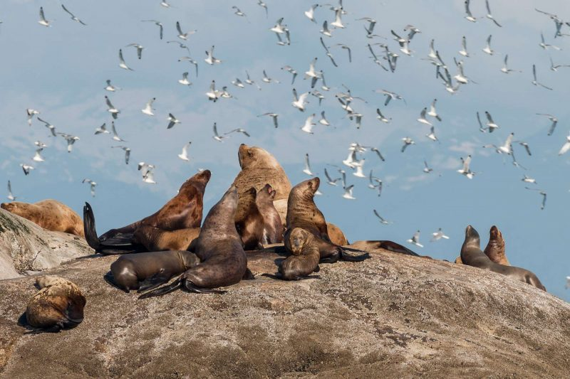 Steller sea lions and kittiwakes