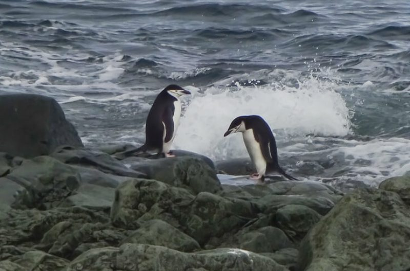 antarctica chinstrap penguins on the rocks cp