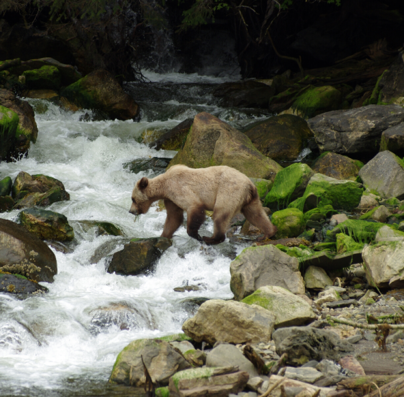 Bear in a river