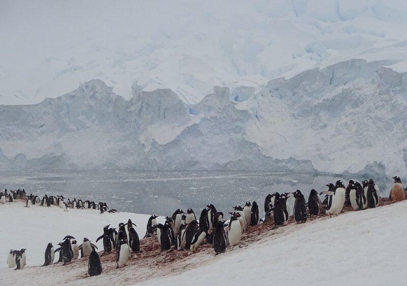gentoo penguin colony in antarctica cp