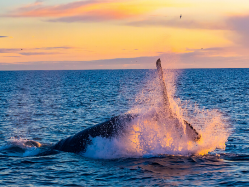 Whale breaching at sunset