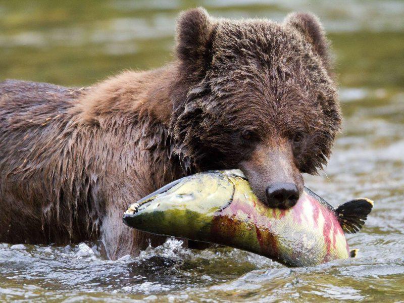 british columbia great bear lodge bear with salmon