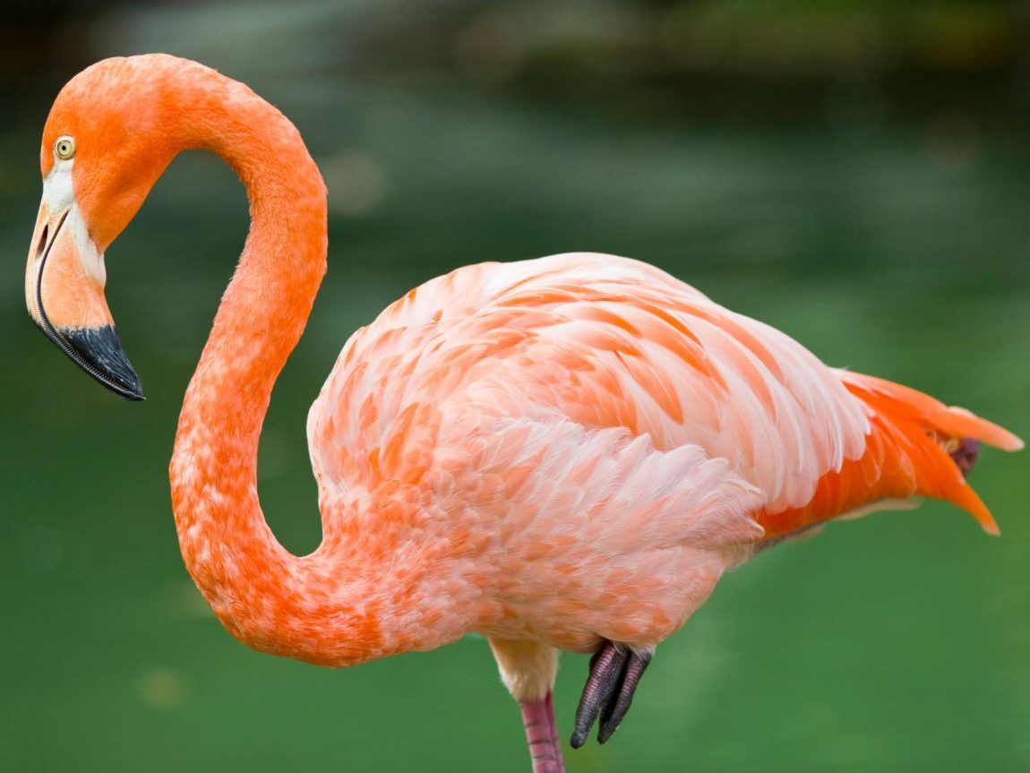 bird flamingo istk