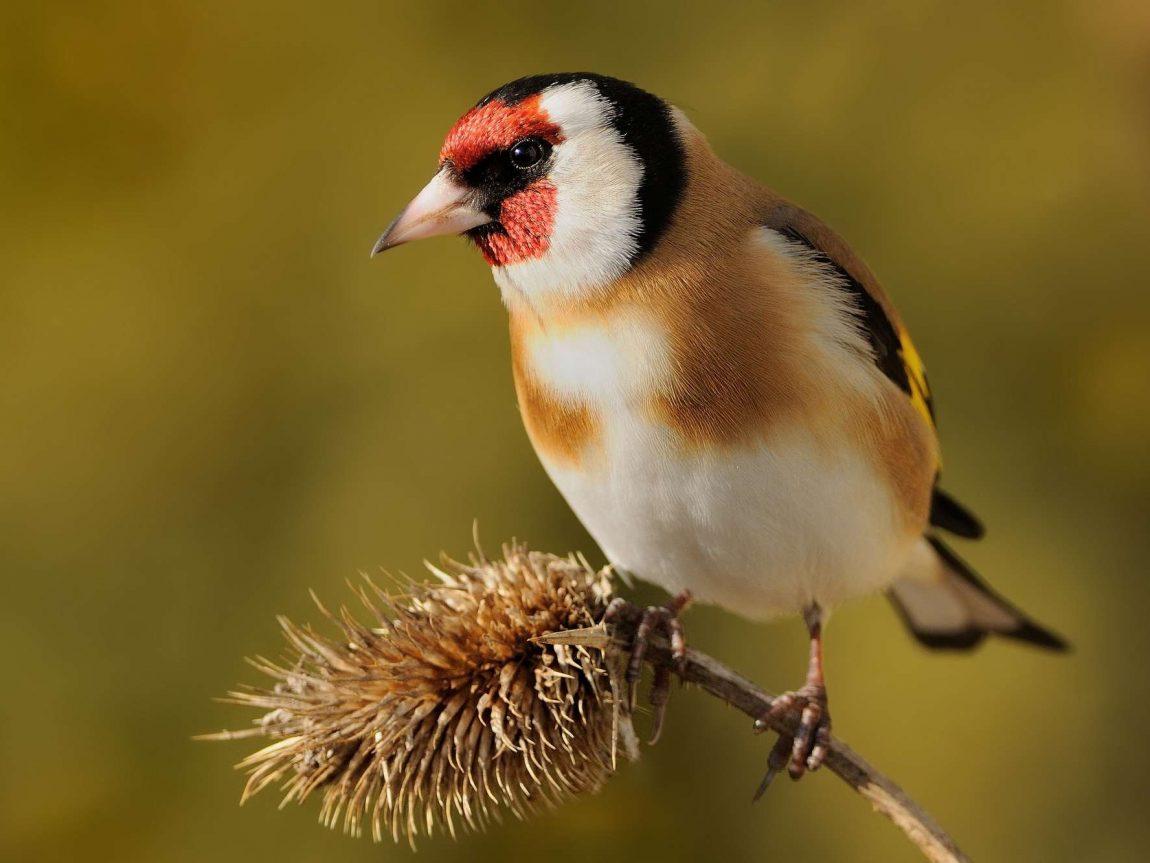 bird goldfinch istk