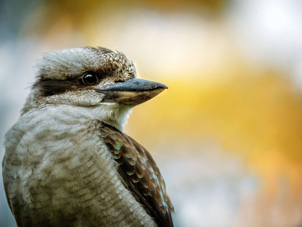 bird kookaburra australia istk