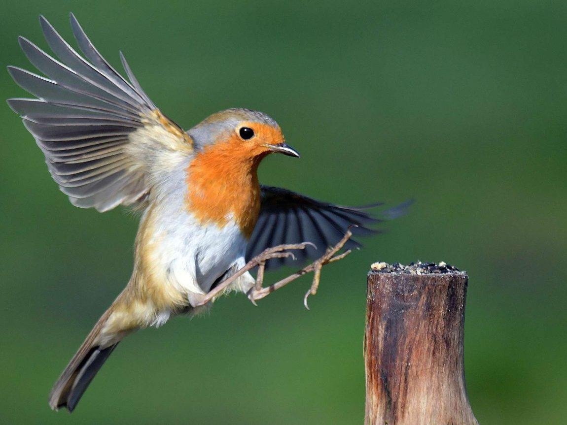 bird robin istk