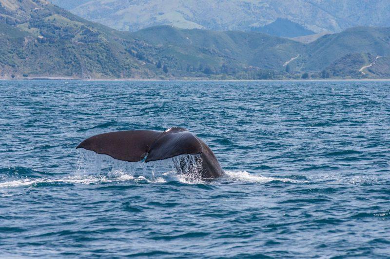new zealand kaikoura mountains whale diving istk