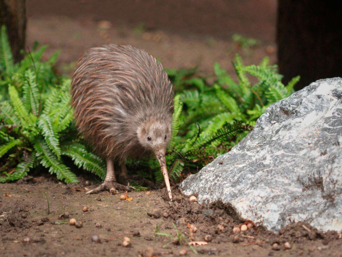 new zealand wildlife brown kiwi astk