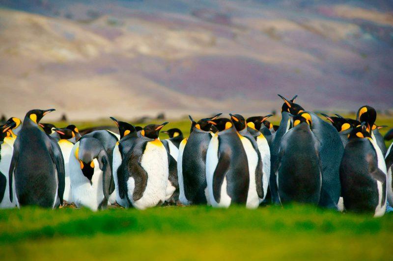 falkland islands king penguins istk