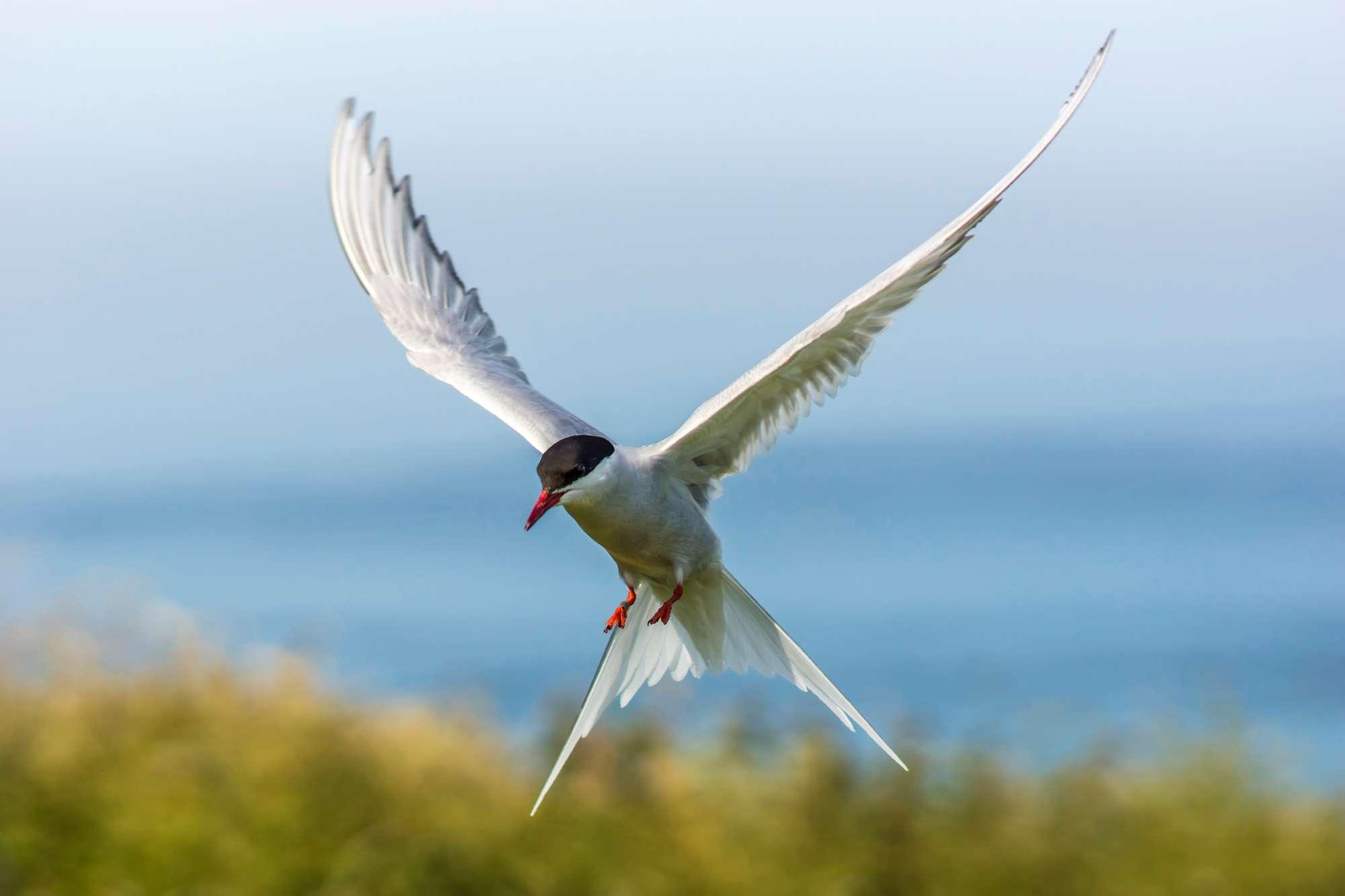 iceland arctic tern istk