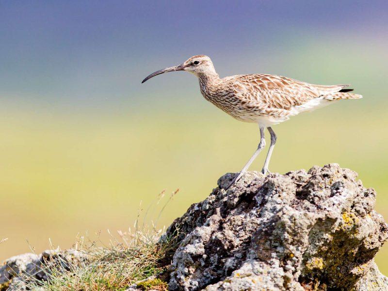 iceland birdlife whimbrel istk