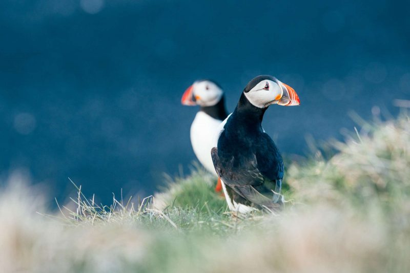 iceland puffins cliff edge gt