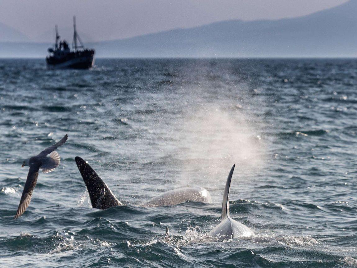 iceland snaefellsnes grundarfjordur orcas seabirds rth