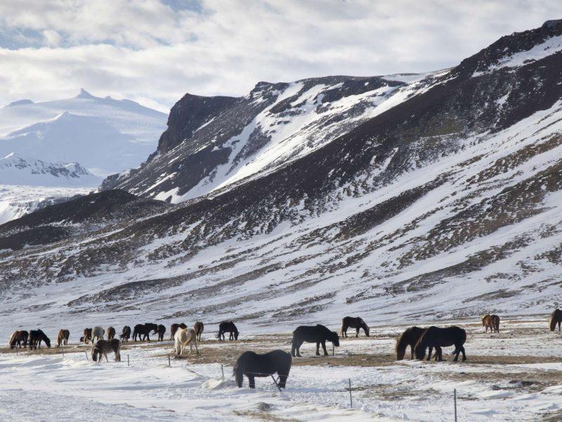 iceland snaefellsnes horses in winter astk