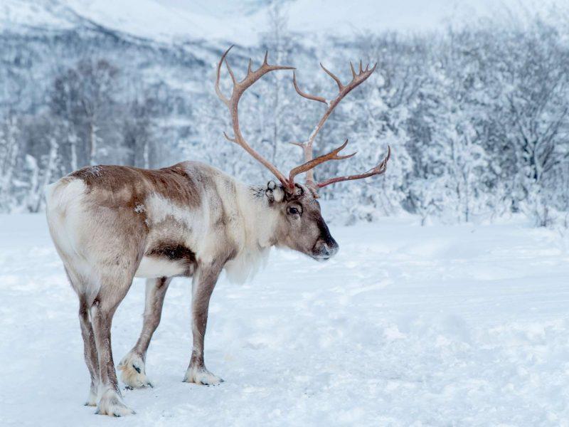 lapland reindeer in winter istk