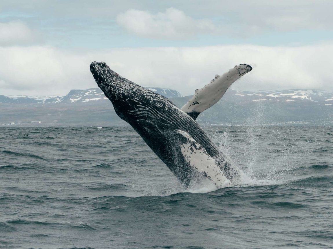 north iceland humpback whale breaching husavik gt