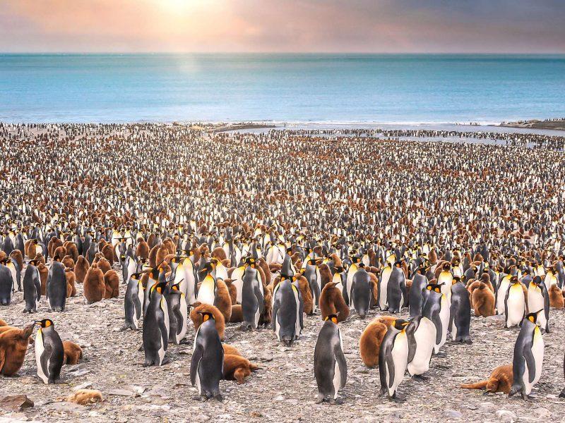 south georgia st andrews bay king penguins sunset istk