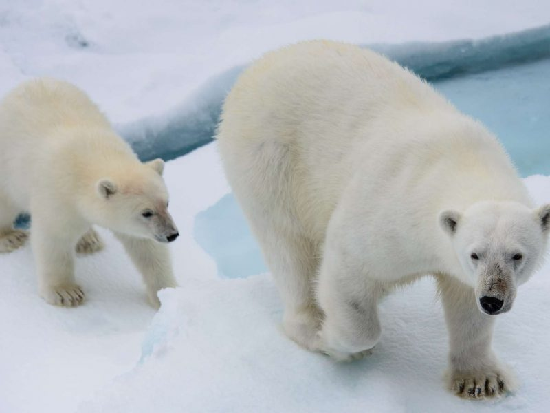 spitsbergen polar bear mother and cub pack ice istk