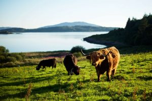 argyll and isles highland cows