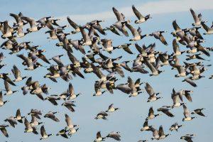autumn wildlife islay barnacle geese istk