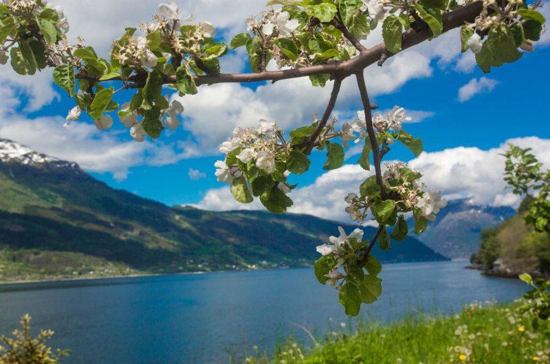 fjord norway hardangerfjord apple blossom istk