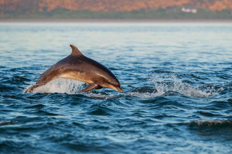 Bottlenose dolphin, Scotland