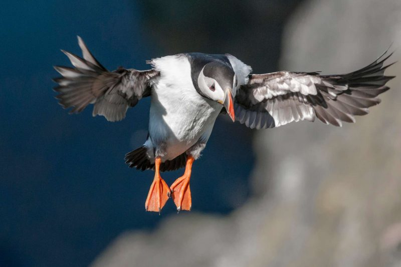 scotland puffin landing shetlands istk