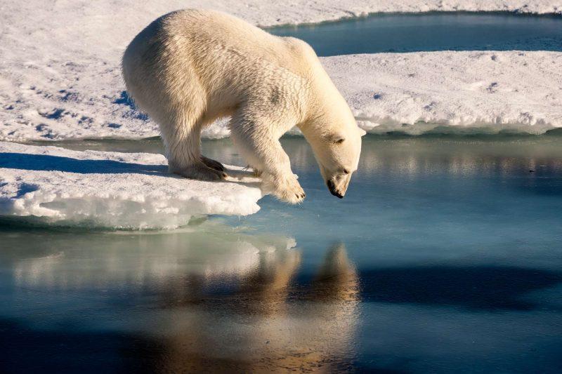 spitsbergen polar bear admiring reflection astk