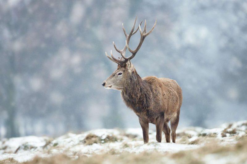 winter wildlife red deer stag winter istk