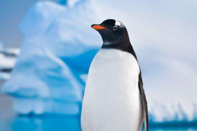 antarctica wildlife gentoo penguin istk
