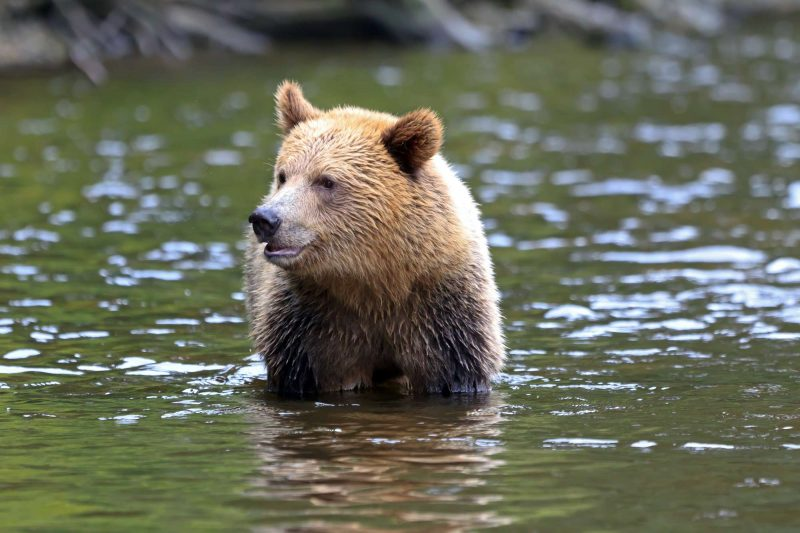 canada grizzly bear at knight inlet istk