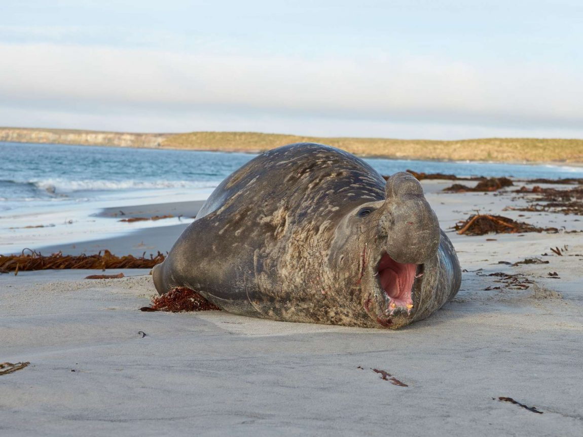 falklands male elephant seal on beach sealion island istk