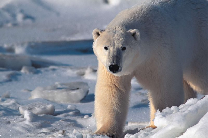 Loan polar bear in Greenland