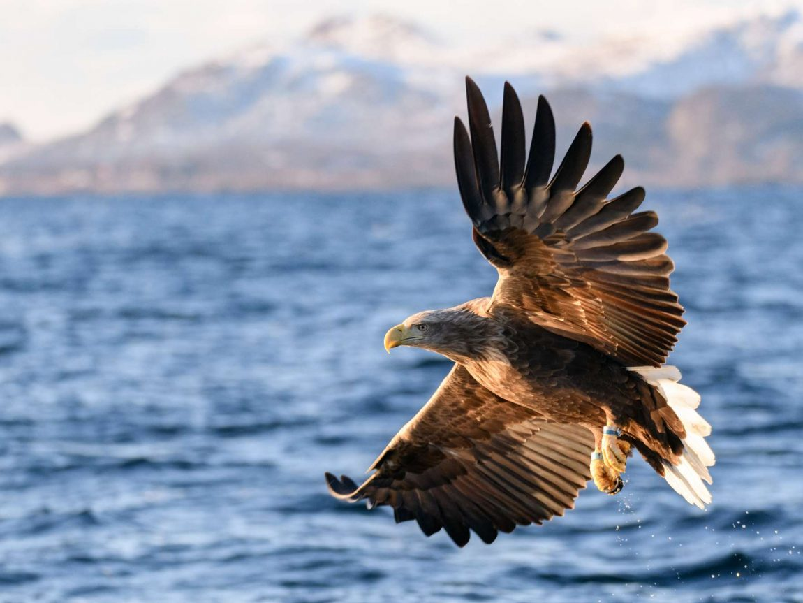 norway white tailed eagle in flight iskt