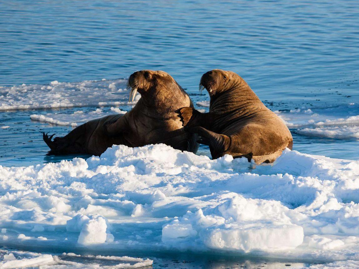 arctic walrus on pack ice spitsbergen istk