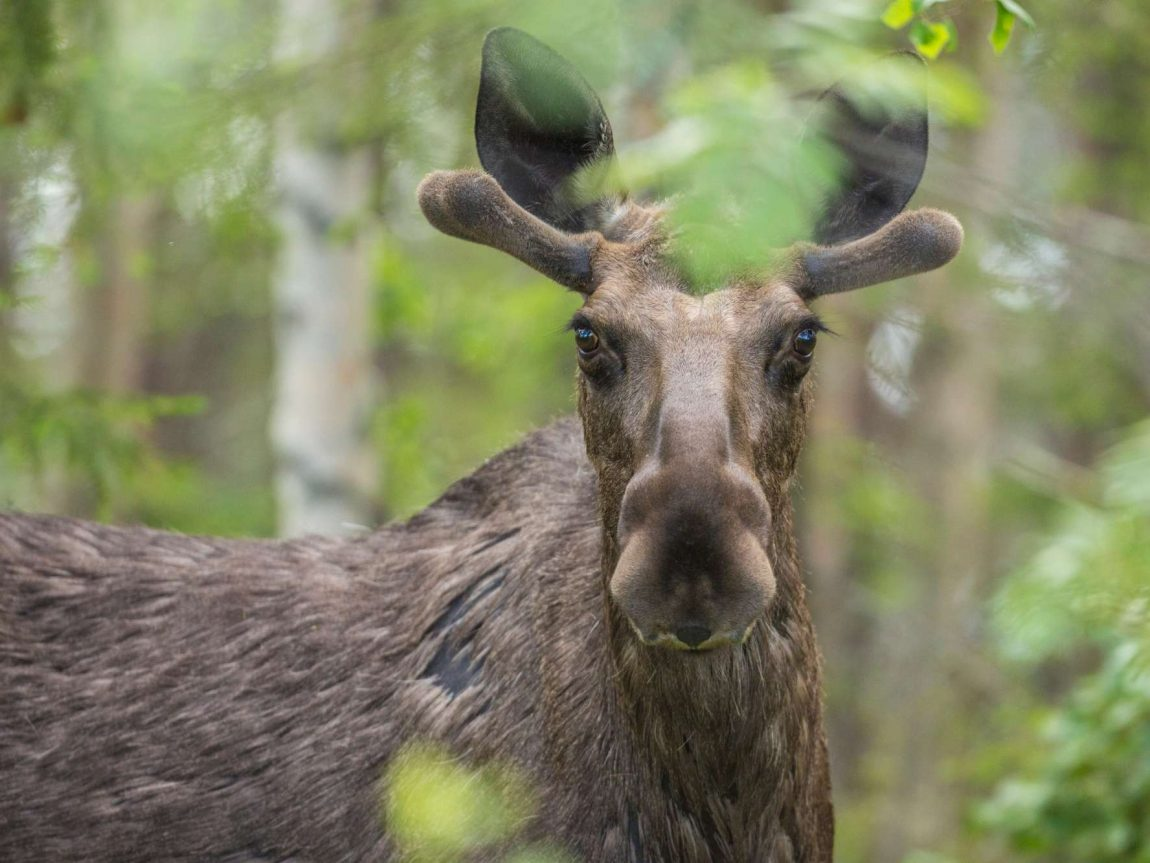 swedish lapland moose in forest istk