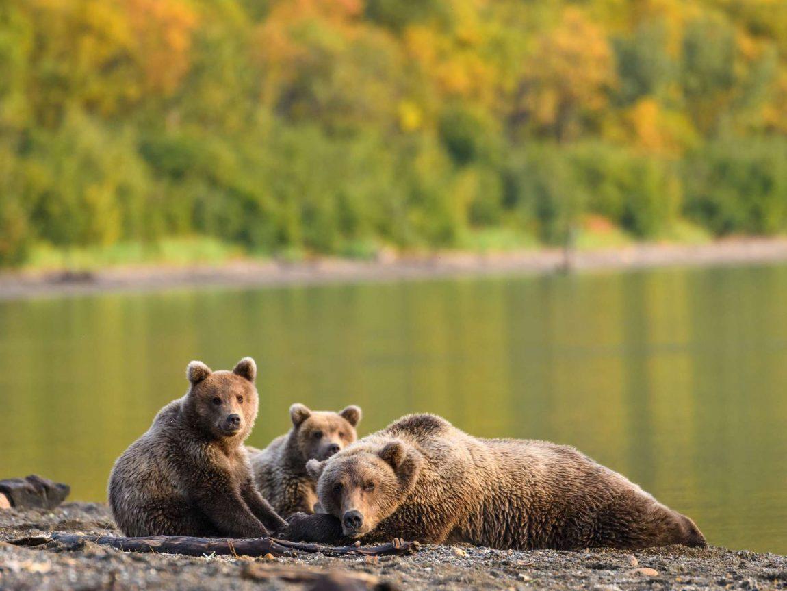 alaska brown bear and cubs resting by water edge katmai istk