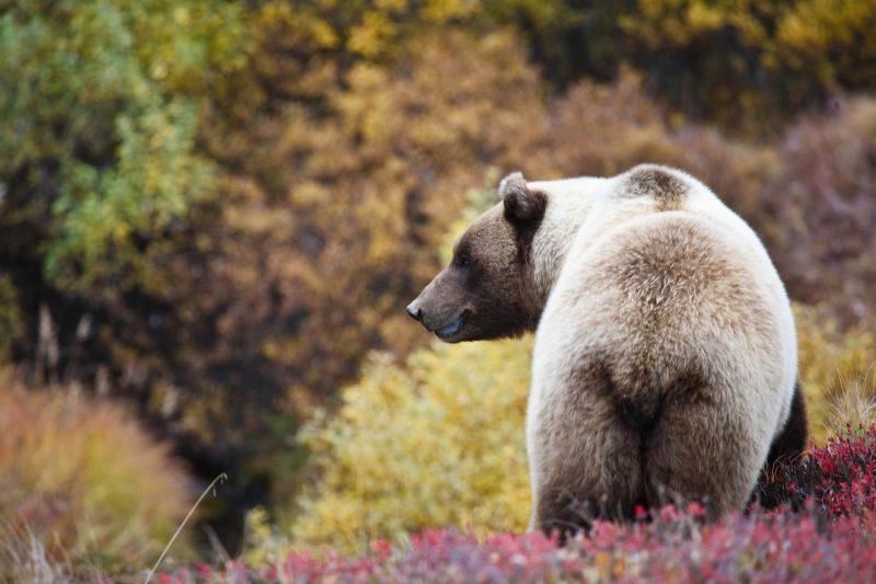 alaska denali national park grizzly bear doll