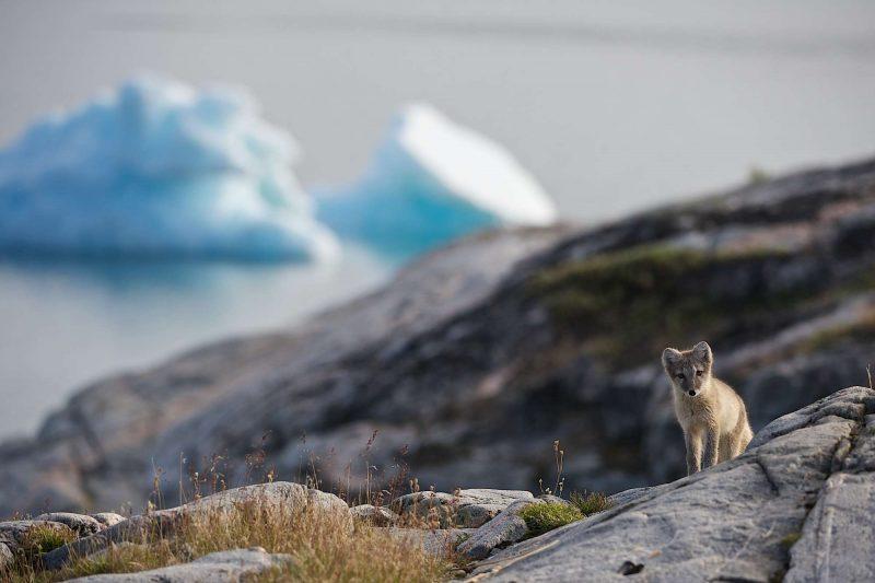 west greenland arctic fox against iceberg backdrop disko bay vg
