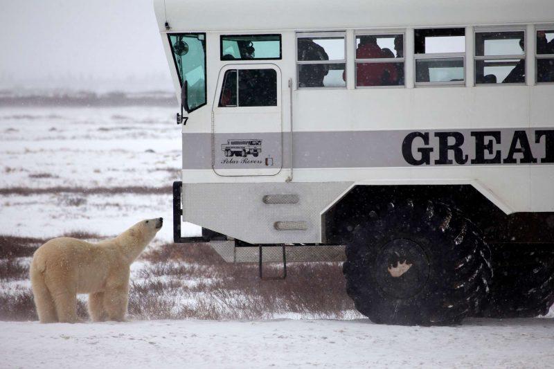 canada curious polar bear approaching rover churchill nha