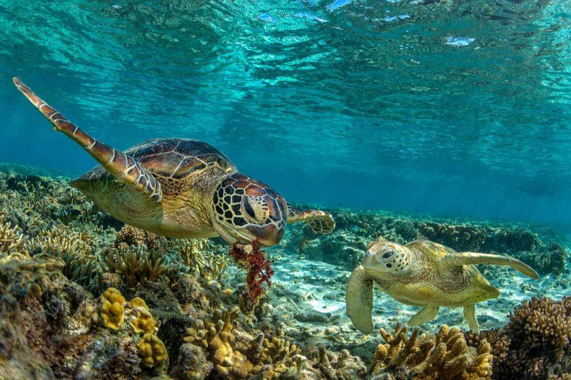 australia green turtles great barrier reef istk