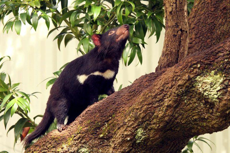 australia tasmanian devil climbing tree istk