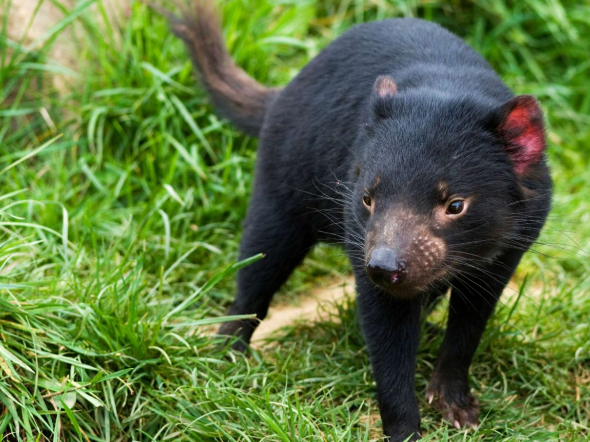 australia wildlife tasmanian devil istk