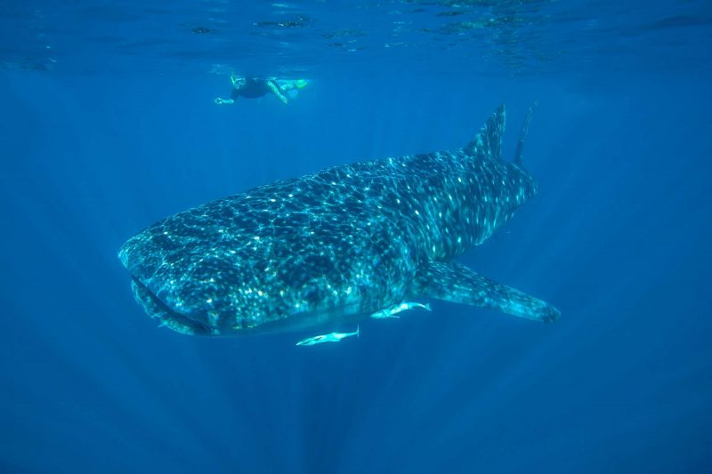 western australia snorkelling with whale shark at ningaloo reef istk