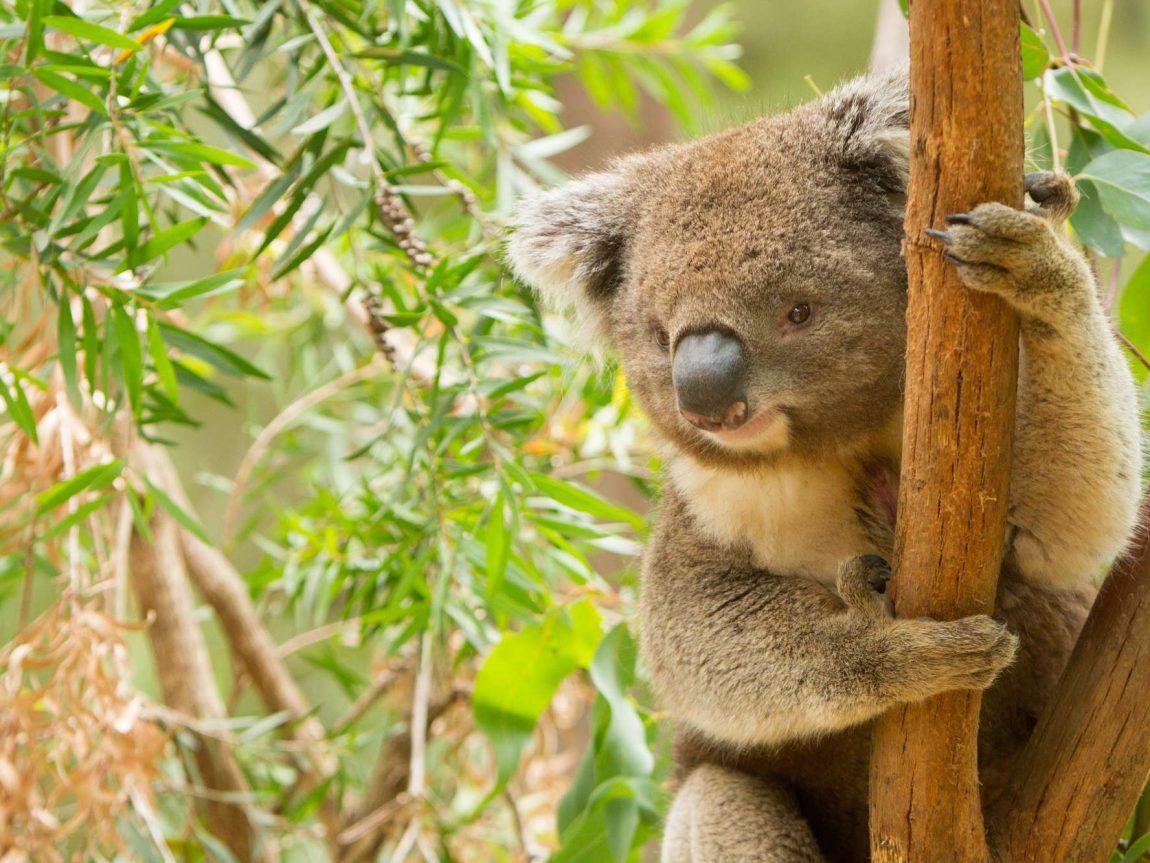 australia wildlife koala in tree istk