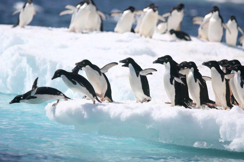 antarctica adelie penguins diving from iceberg astk