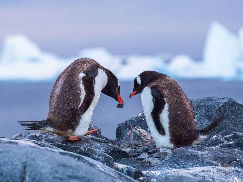 antarctica gentoo penguins building nest istk