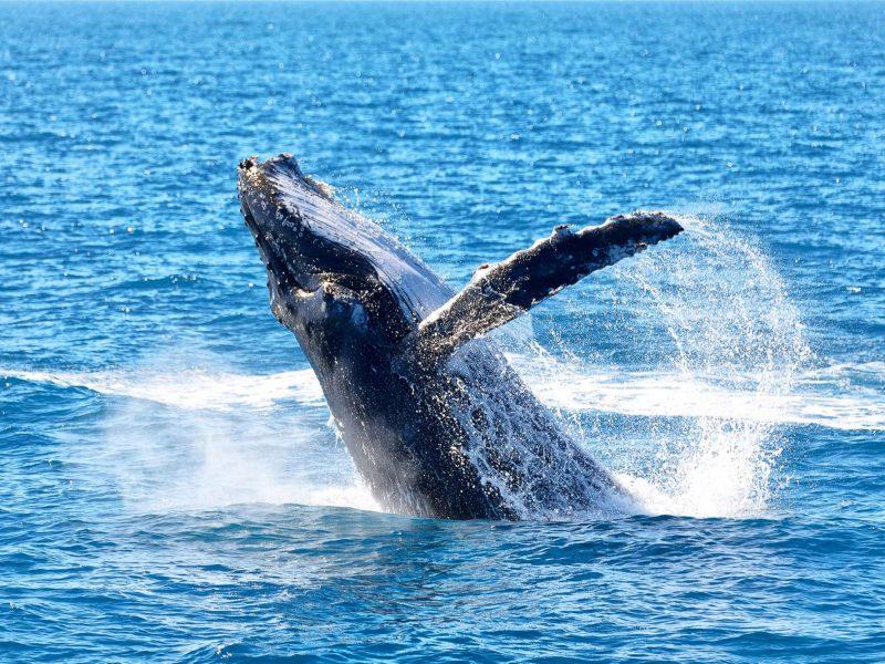 australia humpback whale breaching astk
